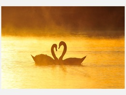 克罗地亚:两天鹅互生爱意摆心形[图集]