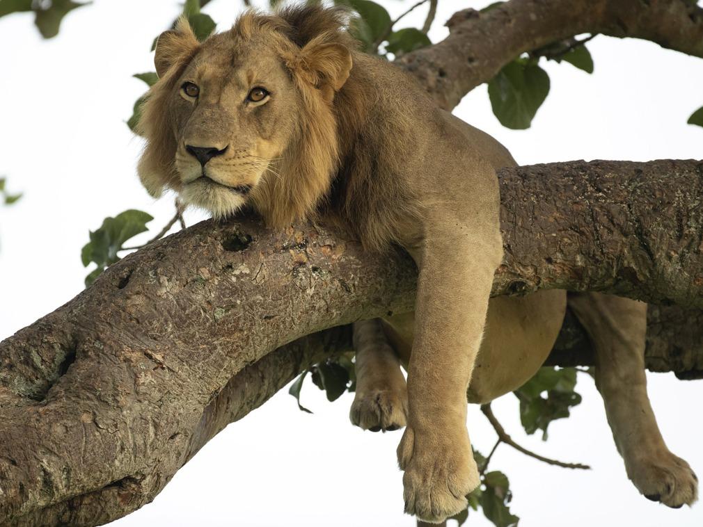 """丛林之王不止威武 耍宝时就成了""""大猫""""[图集]"""