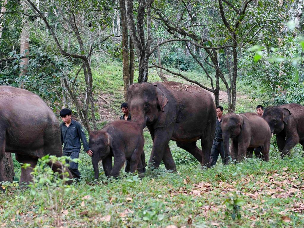 中国云南亚洲象救助 每天排队进原始森林体验生活[图集]